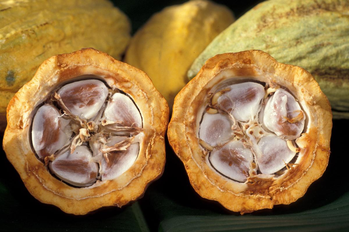 Kakaowiec owoc